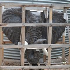 Oversized wall plaque GRC Elephant